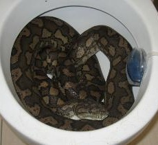 492779-snake-in-toilet